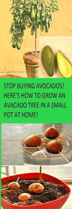 Stop Buying Avocados. Here's How to Grow an Avocado Tree in a Small Pot at Home!